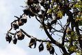 Megabats sri lanka greater short nosed fruit bats circled in a tree Royalty Free Stock Photo