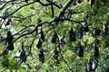 Megabats sri lanka greater short nosed fruit bats perched on a tree Stock Photos