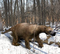 Megalonyx in ice age forest an illustration of the extinct giant ground sloth slowing mmaking his way through an ohio Royalty Free Stock Image
