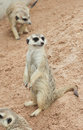 Meir zoo cats Obraz Royalty Free