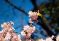 A Mejiro in a Plum Tree 1