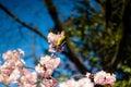 Mejiro in a Plum Tree 2
