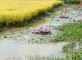 Mekong Delta travel, rice field, water lily flower Royalty Free Stock Photo