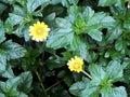 Melampodium Divaricatum or Little Yellow Star flower Royalty Free Stock Photo