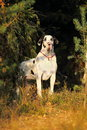 Melancholy dog big harlequin great dane in the sunny pine forest Stock Photography