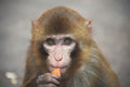 A melancholy little monkey the is eating don t know what to think it is very Stock Image