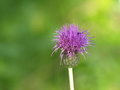 Melancholy thistle bloom from cirsium helenioides Stock Images