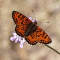 Melitaea didyma, Spotted fritillary or Red-band fritillary Stock Images