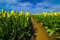 Mello yello yellow tulips just beginning to bloom at a tulip farm in mount vernon washington Stock Photos