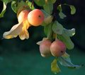 Mellow apples in the sunlight spartacus hanging on branches Royalty Free Stock Photo