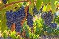 Mellow grapes Stock Photos