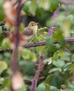 Melodious warbler in dense vegetation as most warblers the hippolais polyglotta likes to stay under the cover of avoiding open Royalty Free Stock Photos