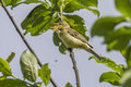 Melodious warbler hippolais polyglotta is singing on a branch Stock Images