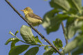 Melodious warbler hippolais polyglotta is sitting on a branch Royalty Free Stock Photo