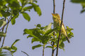 Melodious warbler hippolais polyglotta is sitting on a branch Royalty Free Stock Images