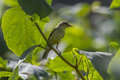 Melodious warbler hippolais polyglotta a is sitting on a branch Royalty Free Stock Photography