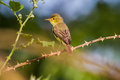 Melodious warbler hippolais polyglotta a is sitting on a branch Royalty Free Stock Image