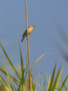 Melodious warbler on reed a hippolais polyglotta perches a vertical cane and proclaims it s territory under the early morning sun Stock Image