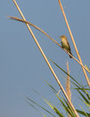 Melodious warbler on reed a hippolais polyglotta perches a vertical cane and proclaims it s territory under the early morning sun Royalty Free Stock Images