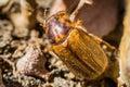 Melolontha melolontha beetle cockchafer