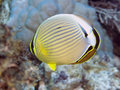 Melon butterflyfish Royalty Free Stock Photo