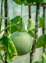 Melon fruit with plant hanging