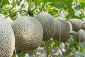 Melon organic produce from the farm. Royalty Free Stock Photo