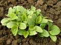 Melon seedlings growing on the vegetable bed Stock Images