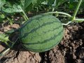 Melon, Watermelon, Cucumber Gourd And Melon Family, Plant