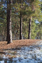Melting snow on clearing in pine forest at early spring sunny day Stock Photos