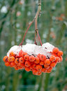 Melting snow on mountain ash berries. Royalty Free Stock Photography