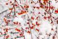 Melting snow on rowanberry branches natural winter background Royalty Free Stock Image