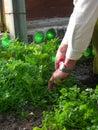 Men cutting herbs Royalty Free Stock Image