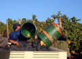 Men Dumping Buckets of Grapes Stock Images