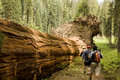 Men Hiking Along Fallen Redwood Tree Stock Images