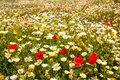 Menorca spring field with poppies and daisy flowers in balearic islands Stock Photos