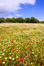 Menorca spring field with poppies and daisy flowers in balearic islands Stock Images