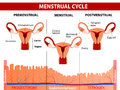 Menstrual cycle menstruation follicle phase ovulation and corpus luteum phase vector diagram Royalty Free Stock Photo