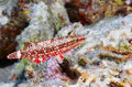 Mental wrasse oxycheilinus mentalis in the red sea egypt Stock Images