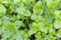 Mentha spicata (Spearmint) Royalty Free Stock Photo