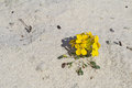 Menzie`s wallflower in sand at Asilomar Dunes Natural Preserve Royalty Free Stock Photo