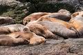 Mer lion group détendant dans le canal de briquet Photos libres de droits