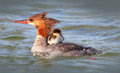 Merganser mother duck with baby duckling a a on her back Royalty Free Stock Photos