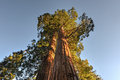 Merged giant sequoia trees in sequioa national park california Royalty Free Stock Photography