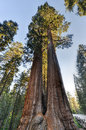 Merged giant sequoia trees in sequioa national park california Royalty Free Stock Image