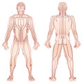 Meridians Male Body TCM
