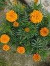 Merigold Flower Blossom In Gar...