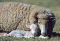 Merino ewe with baby lamb Royalty Free Stock Photography