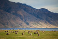 Merino sheep herd in new zealand mountains Stock Photo
