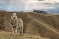 Merino sheep standing on grassy hill Royalty Free Stock Photo